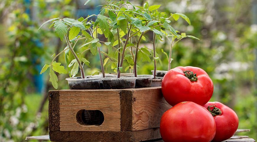 Здоровая рассада помидоров - залог богатого урожая