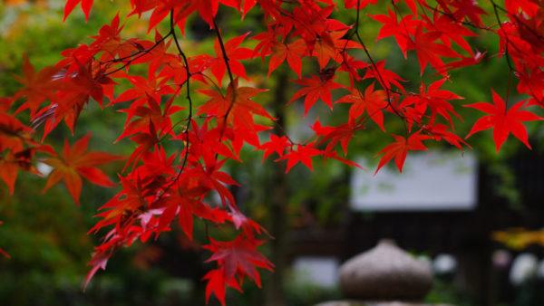 Красный японский клён
