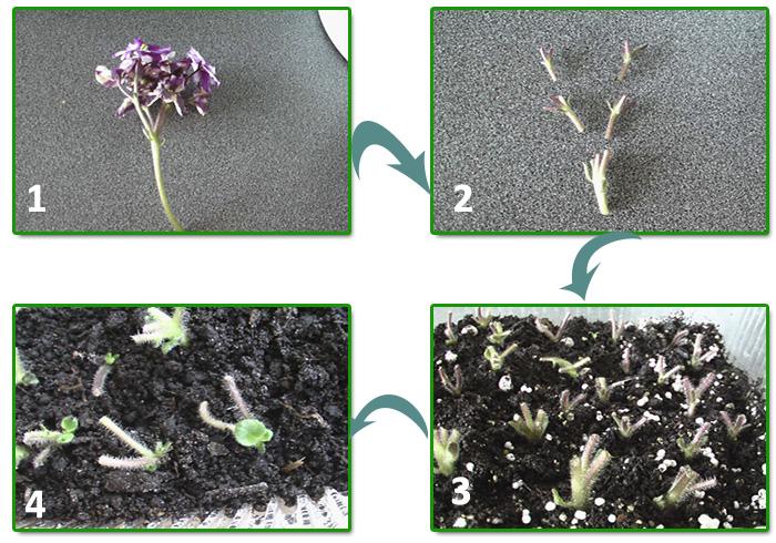 Пошагово размножение фиалок цветоносами