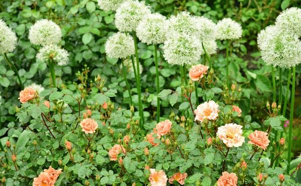 Лук, петрушка будут защищать розы от вредителей