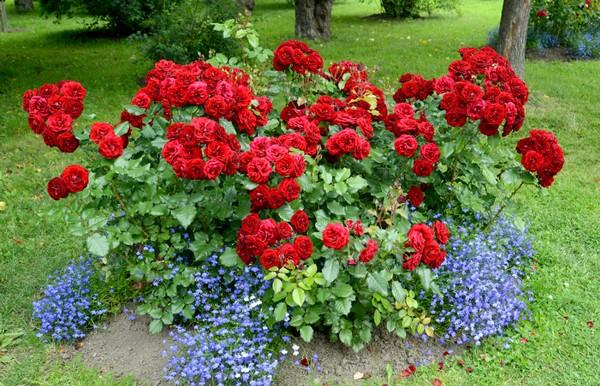 Лучше подбирать «соседей», цвета которых будут контрастировать с розами