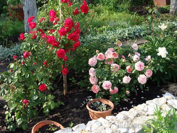 Яркие розы можно сочетать с голубыми, фиолетовыми цветами