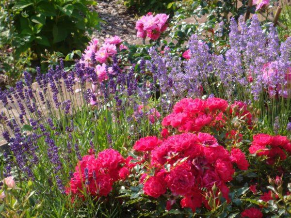 Рядом с розами можно выращивать луковичные растения
