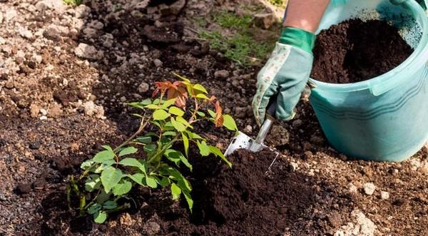 Для роз очень важно, в какой почве они произрастают