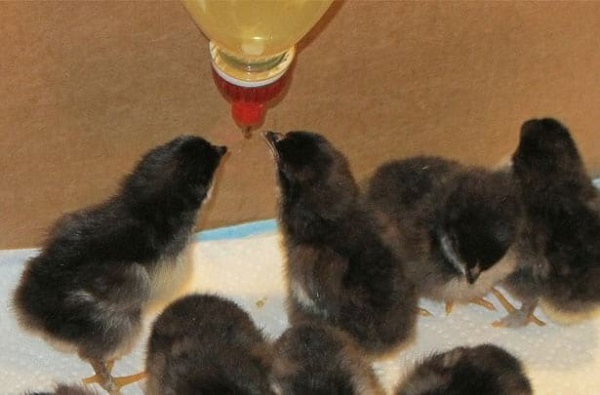 Цыплят и взрослых птиц можно поить препаратом, добавив его в поилку или же непосредственно в корм