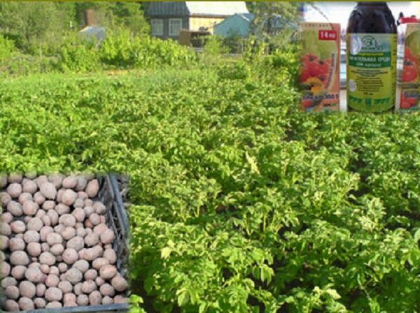 Высокий урожай картофеля будет обеспечен, если посадочный материал укрепить биоудобрением