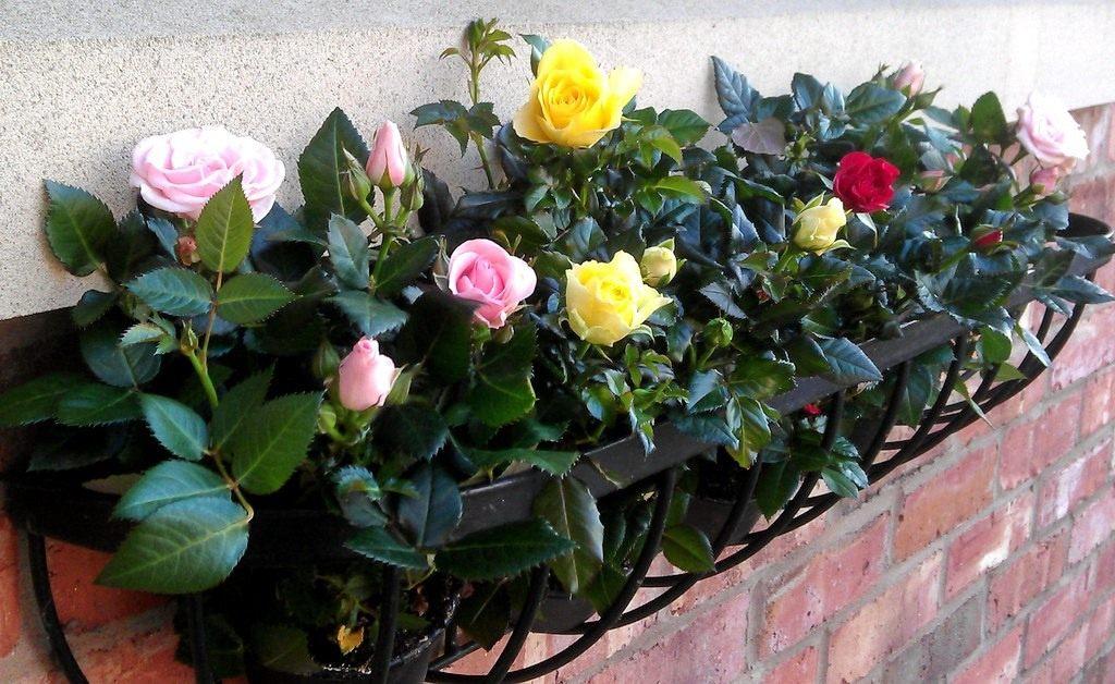 Домашние розы на балконе