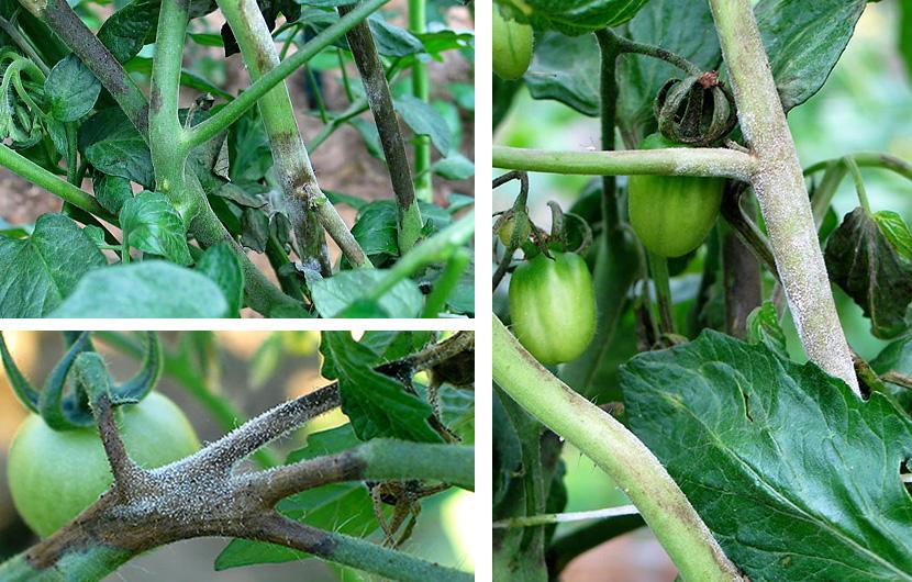Фитофтора на стеблях томатов