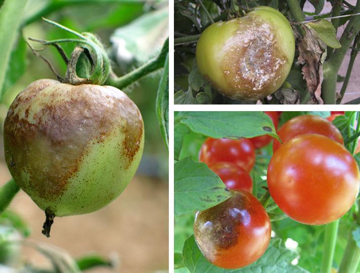 Темные пятна на плодах помидор при поражении фитофторой