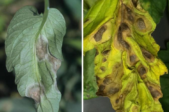 Разница в поражении листьев при фитофторе и альтернариозе