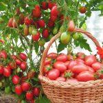 vershinnaya-gnil-na-tomatah-12