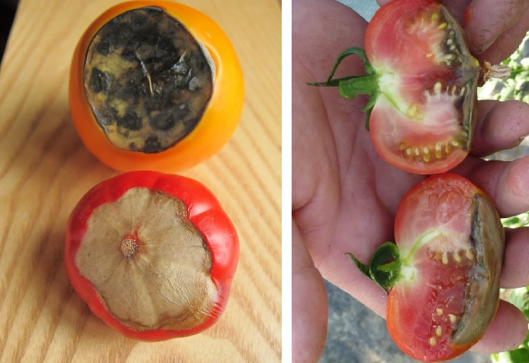 Вершинная гниль на помидорах - фото
