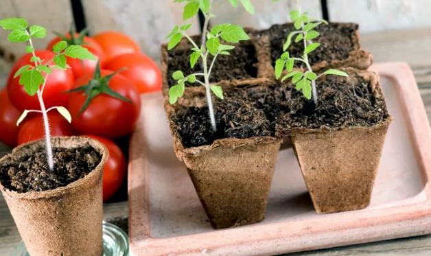 Расчеты помогут узнать, когда сеять помидоры на рассаду