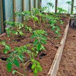 kogda-sazhat-pomidori-na-rassadu-5