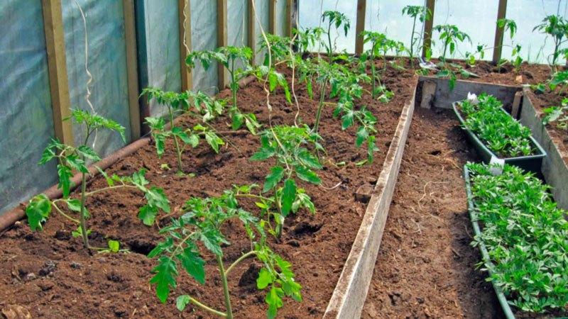 Наличие теплицы позволяет высаживать рассаду пораньше