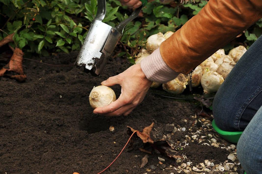 Высадка луковиц горшечных гиацинтов в грунт