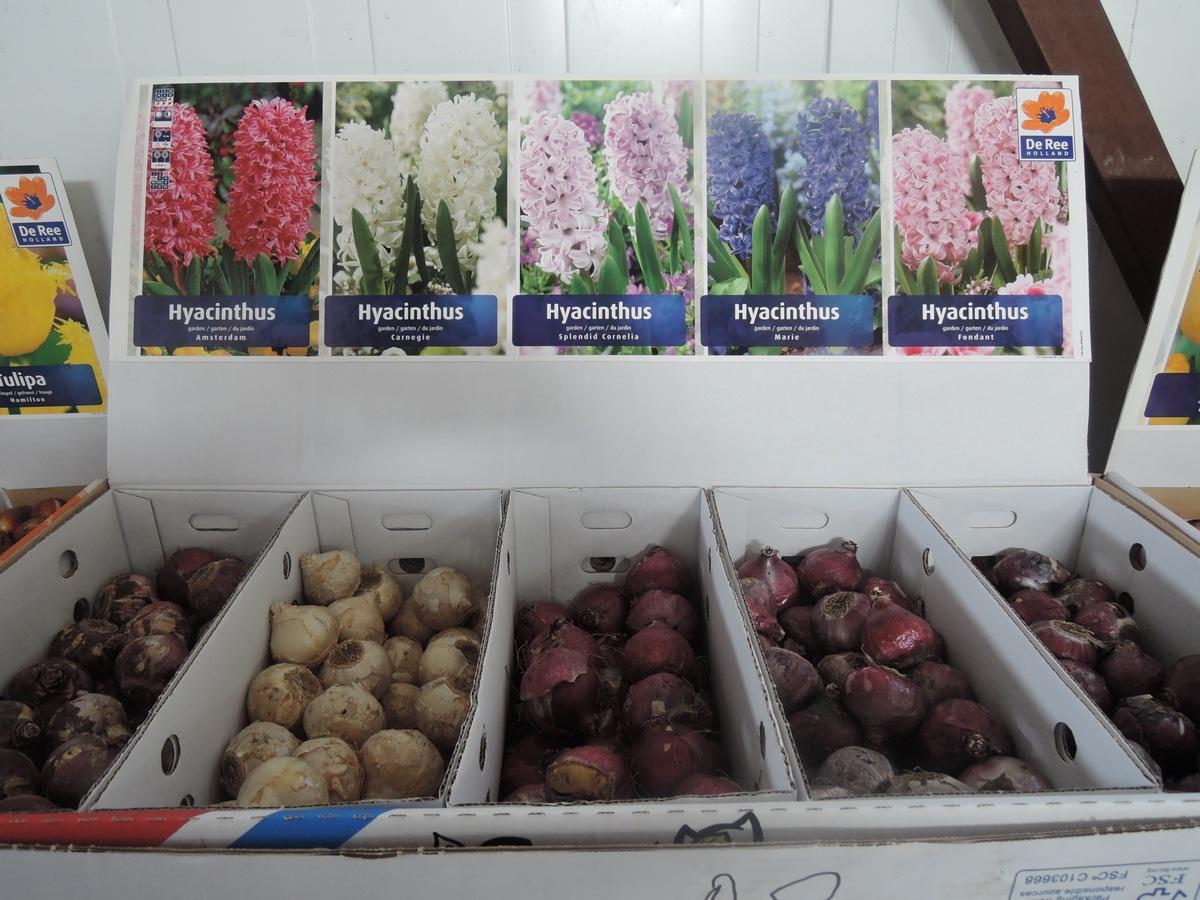 Луковицы гиацинтов в продаже