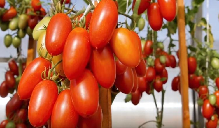 Томат Джекпот отличается супер-урожайностью