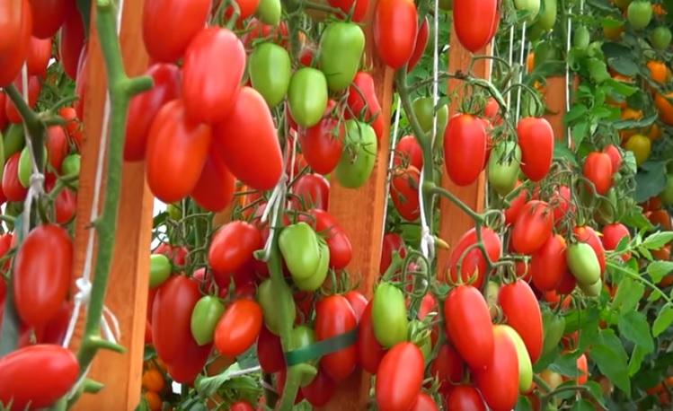 Посадки помидоров Джекпот