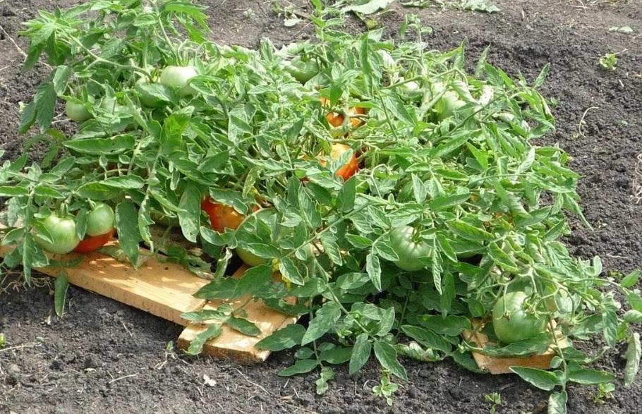 Под плоды Монгольского карлика вместо мульчи подложены дощечки