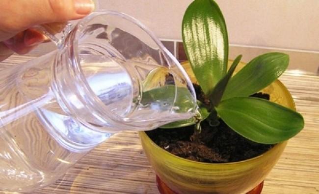 Обычный полив орхидеи сверху