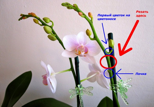 Схема обрезки цветочной стрелки орхидеи