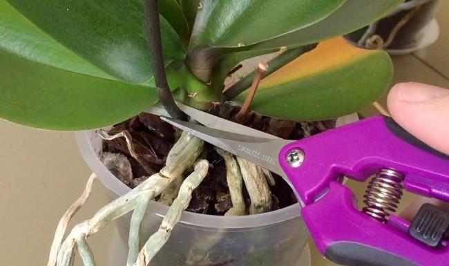 Обрезать стрелку можно у самого основания растения