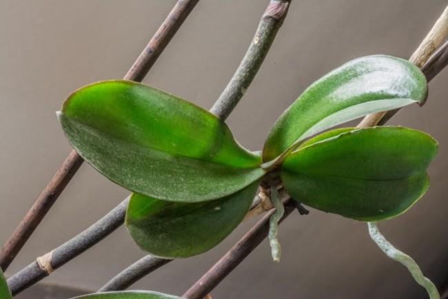 """Детка"" орхидеи фаленопсиса на цветоносе"