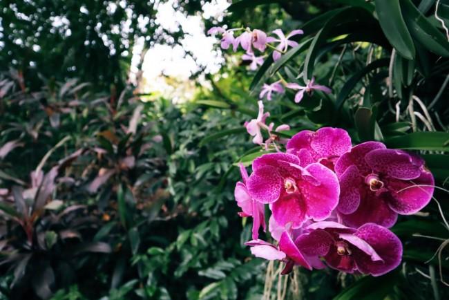 Дикий фаленопсис в тропических лесах