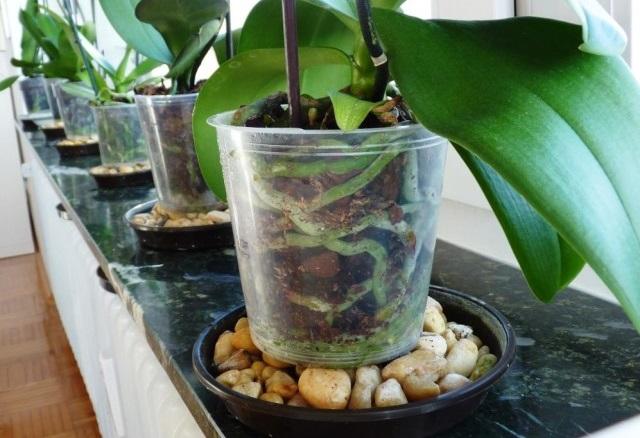 Поддоны с галькой (керамзитом) увлажняют воздух вокруг орхидей