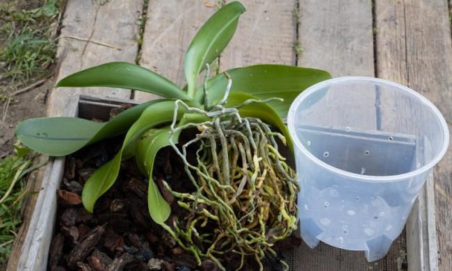 Пластиковый прозрачный горшок - один из лучших емкостей для орхидей