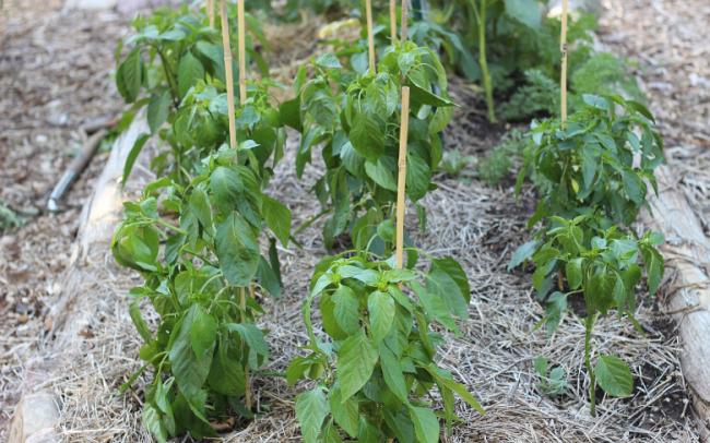 После высадки перца в грунт возле каждого растения ставят колышек для подвязки