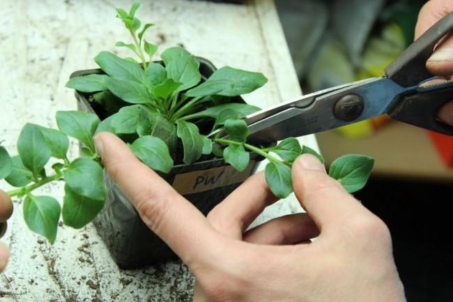 Прищипывание боковых стеблей ампельной петунии