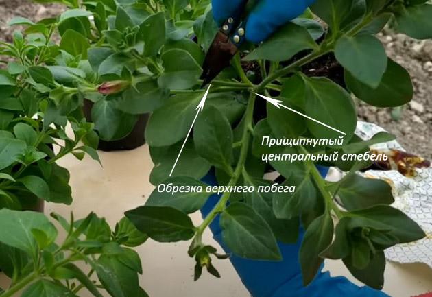 Маскировка лысой серединки при прищипке центрального стебля ампельной петунии