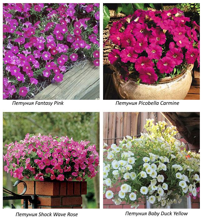 Сорта мелкоцветковой петунии - фото и названия