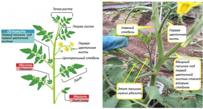 Пасынкование помидор при ведении их в 2 стебля