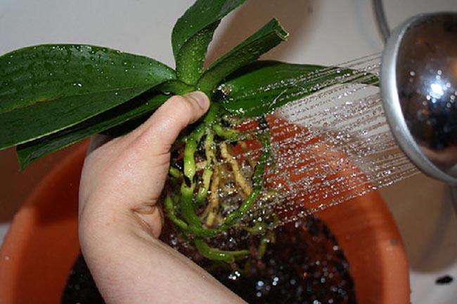 Промываем корни орхидеи под проточной водой